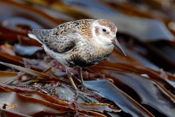Shorebirds - 38 of 50