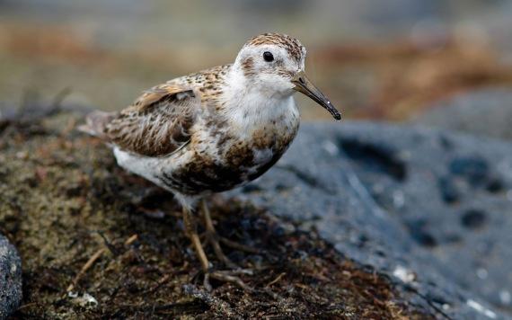 Shorebirds - 39 of 50