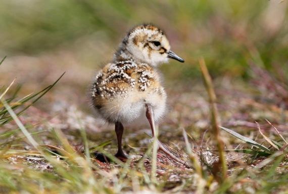 Shorebirds - 41 of 50