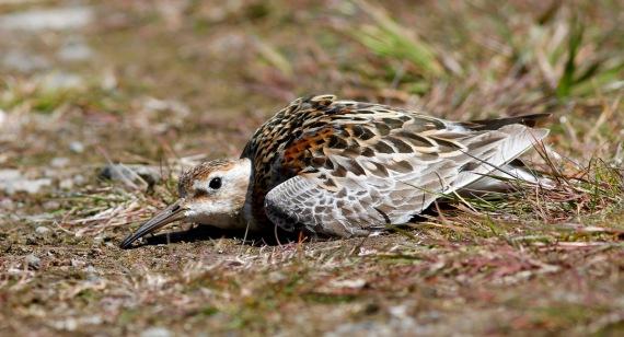 Shorebirds - 42 of 50