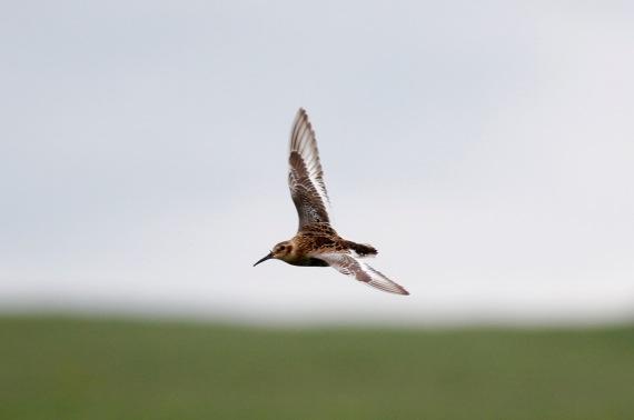 Shorebirds - 43 of 50