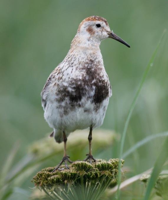 Shorebirds - 45 of 50