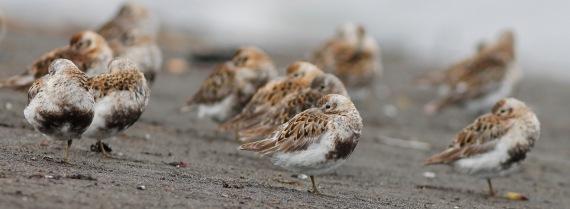 Shorebirds - 50 of 50
