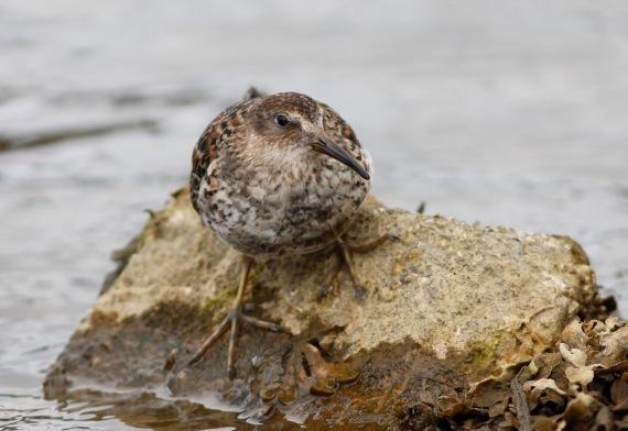 Shorebirds - 6 of 50