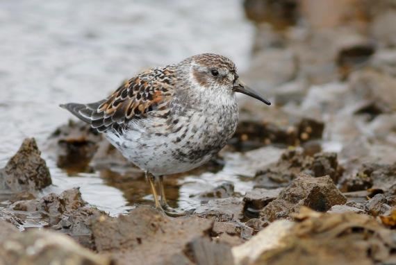 Shorebirds - 8 of 50