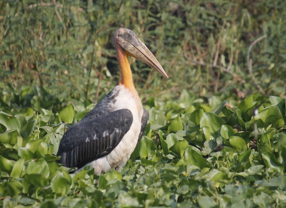 greater-adjutant-in-floating-vegetation-photo-stephan-lorenz