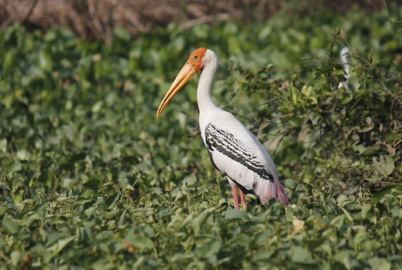 painted-stork-photo-stephan-lorenz