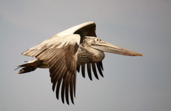 spot-billed-pelican-photo-stephan-lorenz