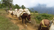 A mule train carrying local coffee Photo Stephan Lorenz