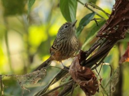 Santa Marta Antbird Photo Stephan Lorenz