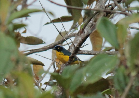 The endemic Black-cheeked Mountain-Tanager Photo Stephan Lorenz