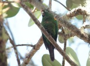 Santa Marta Parakeet Photo Stephan Lorenz
