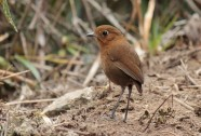 Rufous Antpitta Photo Stephan Lorenz
