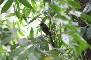 Andaman Treepie by Stephan Lorenz