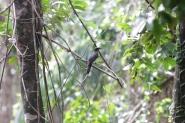 Andaman Cuckooshrike by Stephan Lorenz